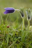 Pasque Flower Stockbild