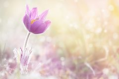 Pasque Flower Fotografia de Stock Royalty Free
