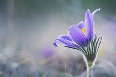 Pasque Flower Fotografia de Stock