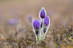 Pasque Flower Fotografia Stock
