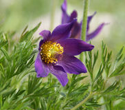 Pasque Flower. (Pulsatilla Rubra), also called Prairie crocus, Wind flower, Easter Flower and Meadow anemone. Beautiful but toxic, the flower has a long history Royalty Free Stock Image