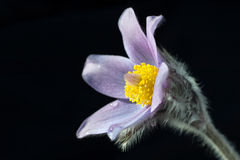 Pasque flower. Pasque flower with black background Stock Images
