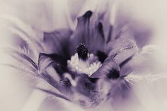 Pasque Flower - black and white - purple tint stock photo
