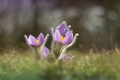 Pasque flower Stock Images
