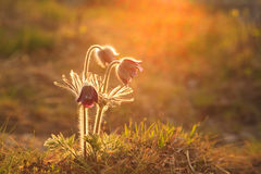 Pasque Flower blooming on spring meadow Stock Photos