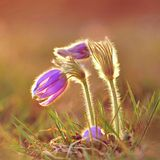 Pasque Flower blooming on spring meadow at the sunset - Pulsatilla grandis. Fine blurred natural background color. Stock Photo