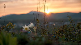 Pasque Flower blooming on spring rock at the sunset. Pasque Flower blooming on spring rock at the sunset in Altai mountains Stock Photo