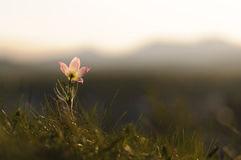 Pasque Flower blooming on spring rock at the sunset. Stock Images