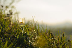 Pasque Flower blooming on spring rock at the sunset. Stock Photos