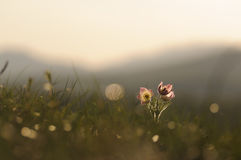 Pasque Flower blooming on spring rock at the sunset. Royalty Free Stock Photography