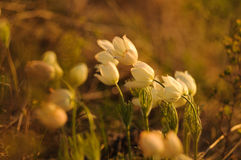 Pasque Flower blooming on spring rock at the sunset. royalty free stock photo