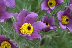 Pasque-flower royalty free stock images