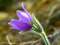 Pasque Flower, Blossom, Bloom Royalty Free Stock Photo