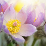 Pasque flower blossom in early spring Stock Photos