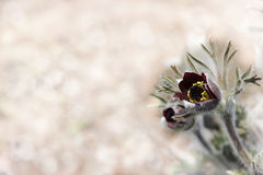 Pasque-flower Stock Photography