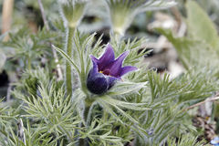 Pasque flower Royalty Free Stock Image