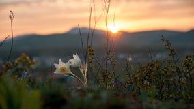 Pasque Flower che fiorisce sulla roccia della molla al tramonto fotografia stock