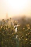 Pasque Flower che fiorisce sulla roccia della molla al tramonto Immagini Stock