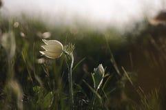 Pasque Flower che fiorisce sulla roccia della molla al tramonto Immagini Stock Libere da Diritti