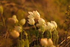 Pasque Flower che fiorisce sulla roccia della molla al tramonto Fotografia Stock Libera da Diritti