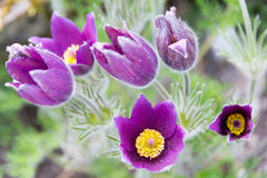 Pasque Flower, close up photograph Royalty Free Stock Photos