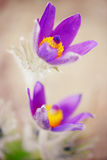 Pasque flower closeup of stamen. Royalty Free Stock Photography