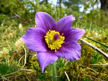 Pasque Flower, Common Pasque Flower Royalty Free Stock Images