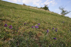 Pasque Flower on Cotswold Hillside Royalty Free Stock Image