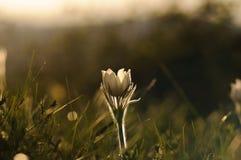 Pasque Flower, der auf Frühlingsfelsen bei dem Sonnenuntergang blüht Lizenzfreie Stockfotos