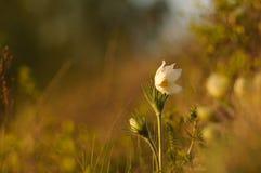 Pasque Flower die op de lenterots bij de zonsondergang bloeien stock foto's