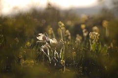 Pasque Flower die op de lenterots bij de zonsondergang bloeien royalty-vrije stock foto