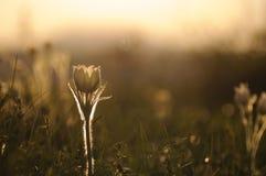Pasque Flower die op de lenterots bij de zonsondergang bloeien stock afbeeldingen