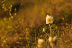 Pasque Flower die op de lenterots bij de zonsondergang bloeien royalty-vrije stock fotografie