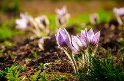 Pasque Flower die op de lenteweide bij de zonsondergang bloeien Stock Foto's