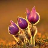Pasque Flower die op de lenteweide bij de zonsondergang bloeien - Pulsatilla-grandis De boete vertroebelde natuurlijke achtergron Stock Fotografie