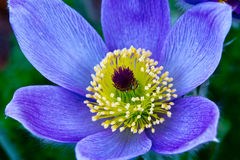 Pasque Flower Stock Photo
