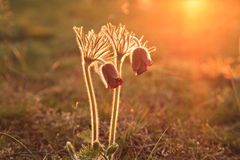 Pasque Flower fleurissant sur le pré de ressort Image stock