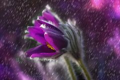 Pasque Flower, Flower, Rain, Plant Stock Photography