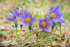 Pasque flower in a forest. Pasque flower is also called the May Day flower. It grows wild and its blooming is one of the first signs of spring Stock Images