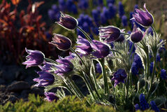 Pasque flower in garden Stock Photos