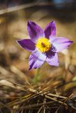 Pasque-flower grows in the forest in early spring stock photo