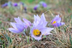 Pasque flower with a honey bee Royalty Free Stock Photos