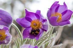 Pasque Flower i vår Arkivbild