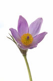 Pasque Flower Isolated Stock Images