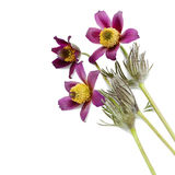 Pasque flower  isolated on white Royalty Free Stock Photos
