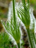 Pasque Flower, Leaves, Hairy Stock Photos