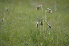 Pasque-flower. In the meadow Stock Photography