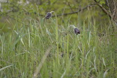 Pasque-flower. In the meadow Royalty Free Stock Photography