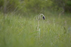 Pasque-flower. In the meadow Stock Photos