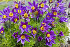 Pasque-flower on the meadow.  Macro view. Blue spring flowers Royalty Free Stock Photo